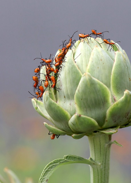 Leaf Footed Bug Nymphs on Artichoke