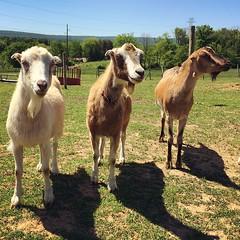 #Goats