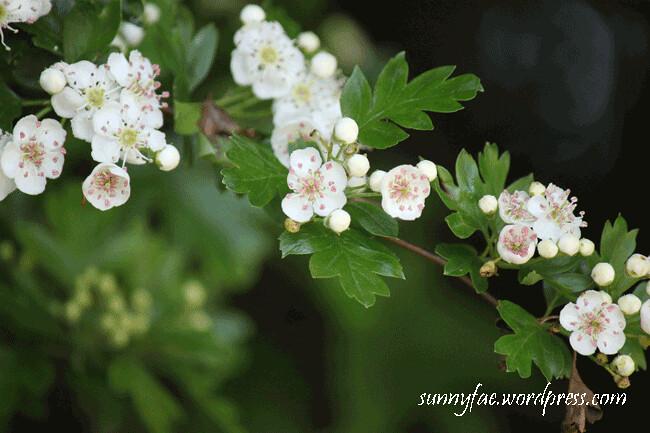 hawthorn-blossom-3