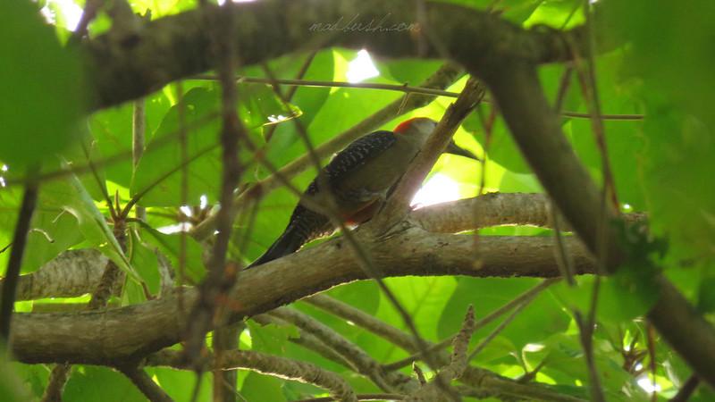 Jamaican Woodpecker (Melanerpes radiolatus) in Duncan