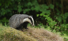 Badger (Meles meles)with a cloud of biting midges.