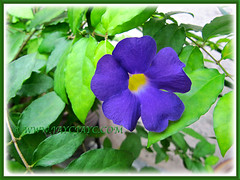 Closeup of Thunbergia erecta, June 24 2014
