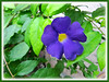 Thunbergia erecta (King's Mantle, Bush Clock Vine, Trumpet Thunbergia)