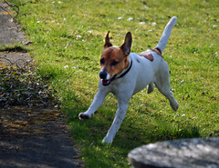 danish swedish farmdog(0.0), puppy(0.0), toy fox terrier(0.0), dog breed(1.0), animal(1.0), dog(1.0), pet(1.0), mammal(1.0), miniature fox terrier(1.0), russell terrier(1.0), jack russell terrier(1.0), terrier(1.0),