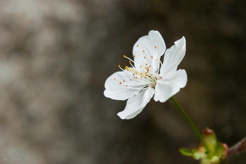 Fleur de cerisier + ajout 16984002189_a9f72a573f_o