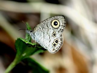 IMG_5470/Thailand/Koh Phi Phi Island/Ypthima Baldus Newboldi/male/ Wet season Form
