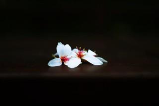 傳一張油桐花吧