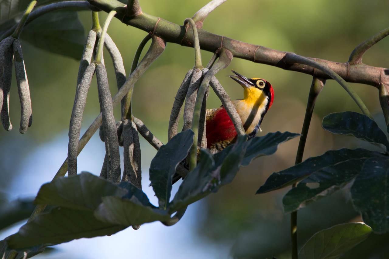 El carpintero arcoíris o carpintero de frente amarilla, cuyo nombre científico es Melanerpes flavifrons, se alimenta principalmente de frutas y además caza insectos y sus larvas. (Oscar Bordón)