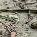 big eyed rat snake (dead) - Dasyueshan forest area, taiwan