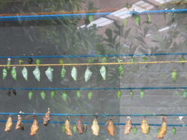 SchmetterlingsfarmKokon