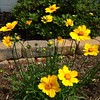First #coreopsis of the year
