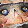 The beautiful false eyes of the #Polyphemus moth