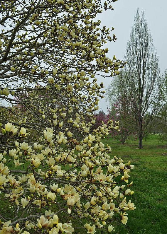 Magnolia acuminata 'Elizabeth' (1)