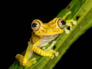 Chachi Tree Frog, Hypsiboas picturatus