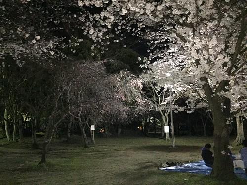 12_北子安公園の夜桜_1