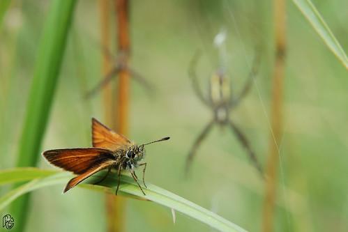 Thymelicus lineolus - Hespérie du dactyle