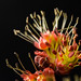 Small photo of Acer rubrum flowering male