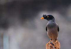 blackbird(0.0), animal(1.0), nature(1.0), fauna(1.0), close-up(1.0), acridotheres(1.0), beak(1.0), bird(1.0), wildlife(1.0),