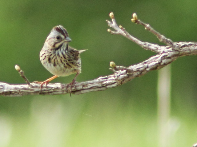 Lincoln's Sparrow 20150503