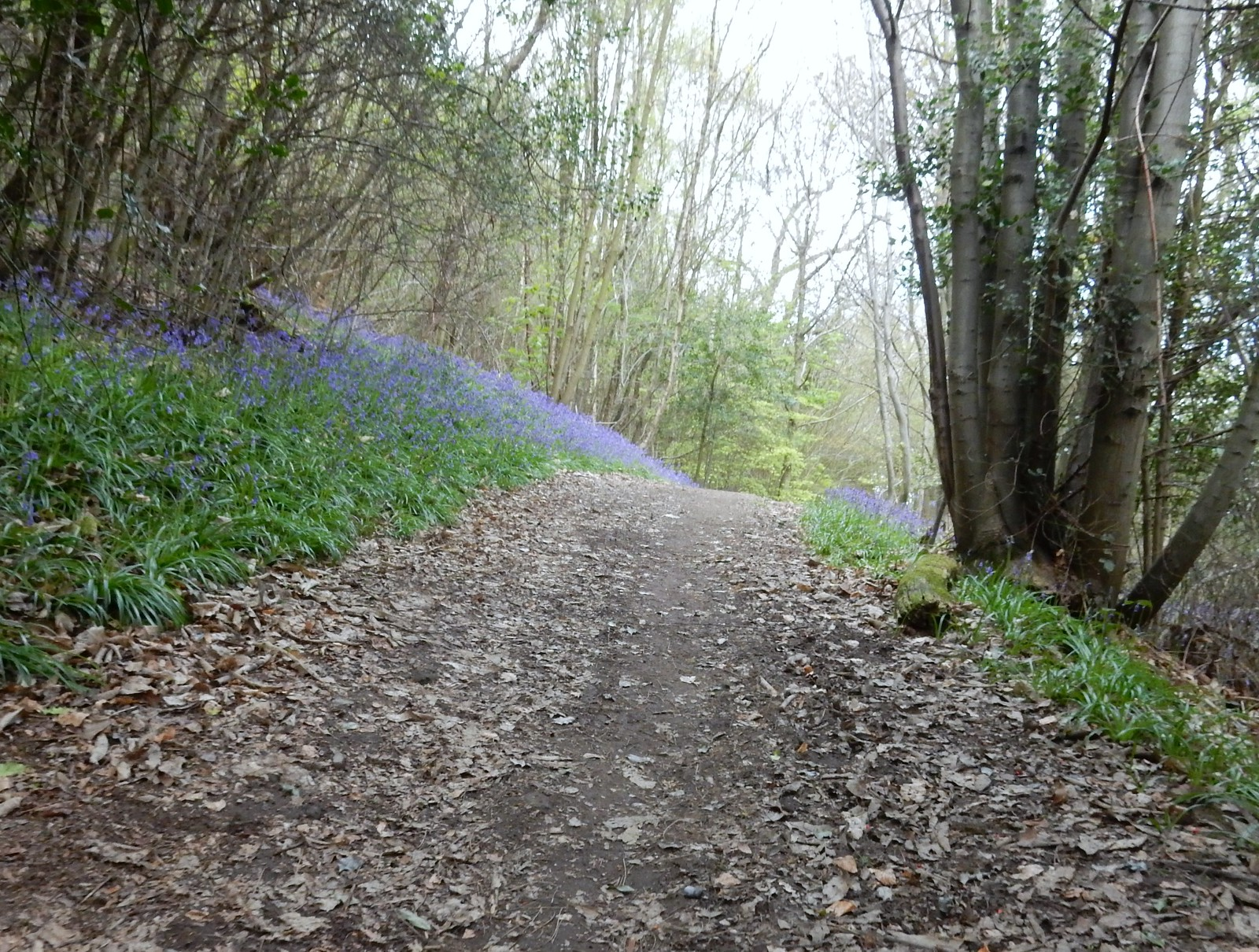Bluebells Ide Hill Hurst Green to Chiddingstone Causeway