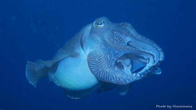 コブシメのオス
