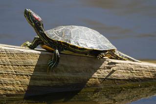 red-eared slider turtle sunning