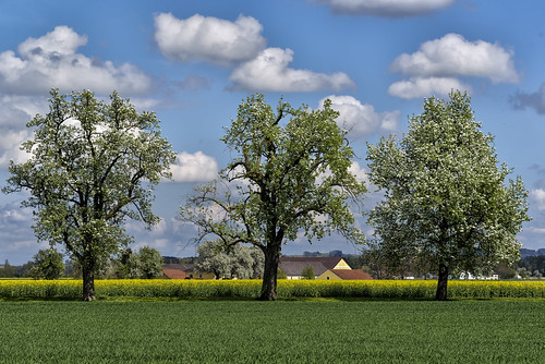 Mostbirnbaumblüten