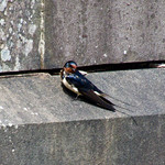 Swallow resting After Migration