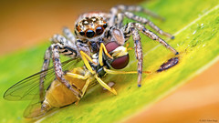 Maevia inclemens dimorphic jumping spider with Syrphida hoverfly