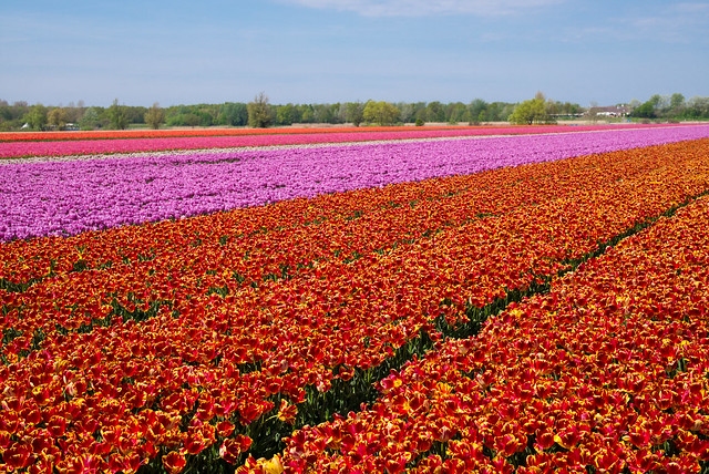 Tulips Fields in Holland