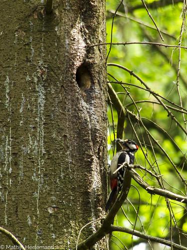 Grote bonte specht bij zijn nest