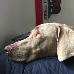 Birdies we are trying to nap! #californiarepublic #california #nalaweim #nala #weim #weimette #weimaraner #weimaddict #weimobsessed #weimsofsd #greyghost #worldofweims #dailydoseofweim #instaweim #instafamous #dogsofsandiego #dogsofinstagram #dog #petsofi