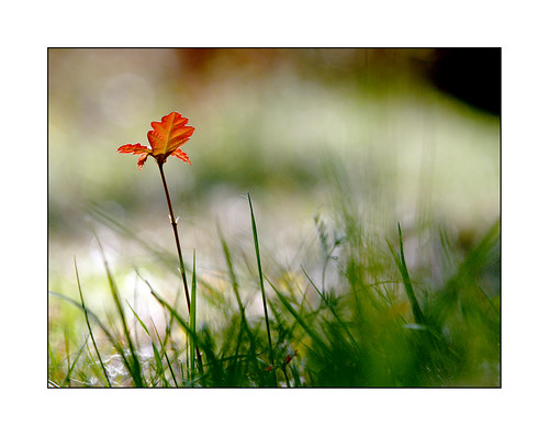 Fleur de chêne