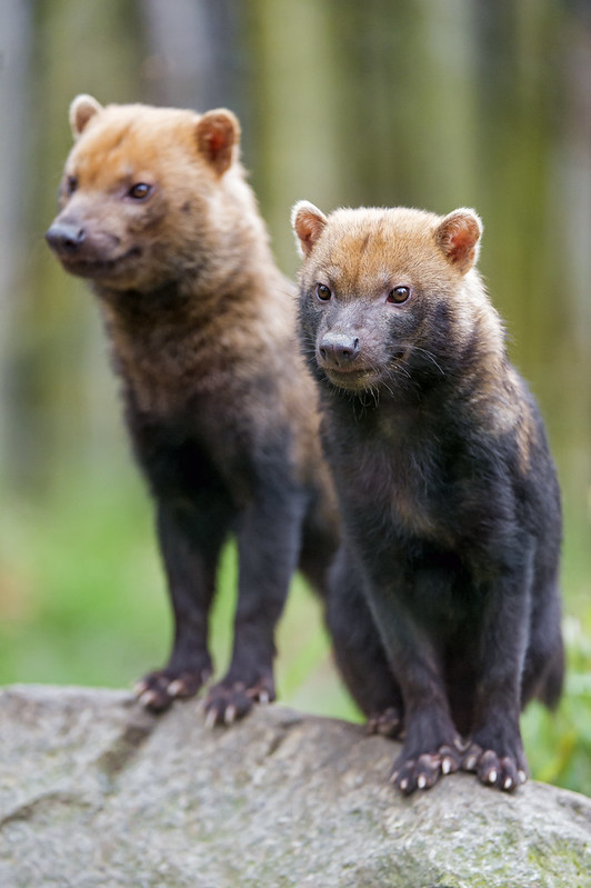 Two bush dogs on a stone