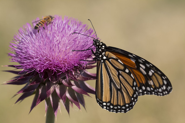 Surveying for monarchs and milkweed in the Great Basin