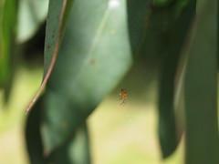 A Minute garden spider