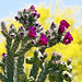 Red-Blooming Cholla;