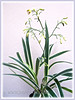 Dianella ensifolia 'White Variegated' (Umbrella Dracaena, Sword Leaf Dianella, New Zealand Lilyplant, Cerulean Flax-lily)
