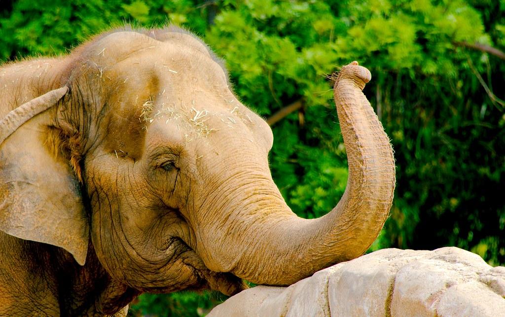 Indian Elephant (Elephas maximus indicus)_3