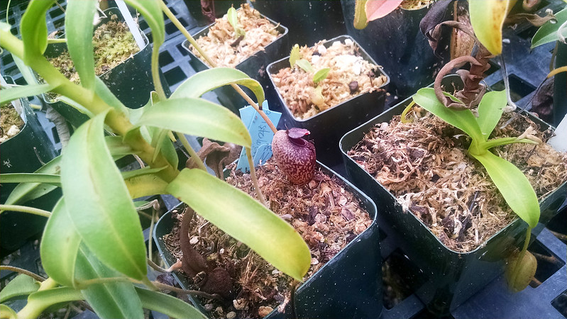 Nepenthes aristolochioides.