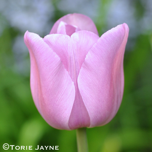 Triumph Tulip 'Alibi' 1