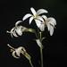 Washington Lily (Lilium washingtonianum) by Ron Wolf