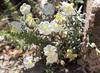 White rock rose