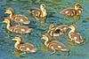 Mallard Ducklings 16-0604-0307 by digitalmarbles