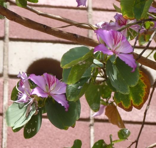 Bauhinia variegata 16723934174_6f272f2531_o