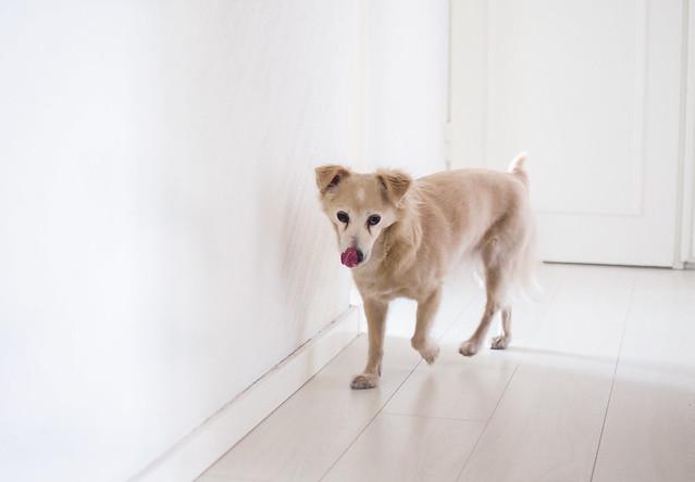sötastehunden