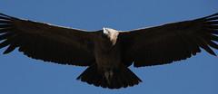 animal, bird of prey, eagle, wing, vulture, fauna, accipitriformes, beak, bird, flight, condor,