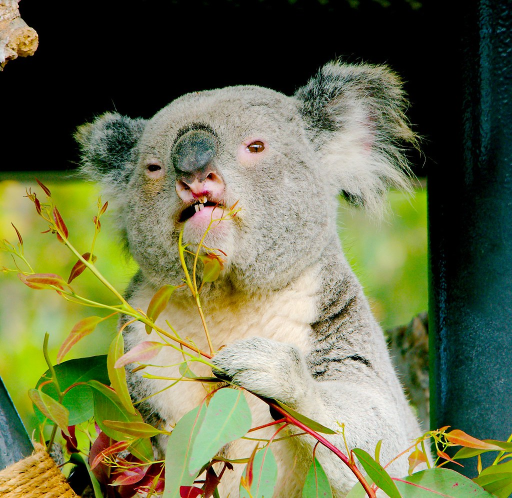 Koala (Phascolarctos cinereus)_10