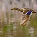 flying duck by Marvin Bredel