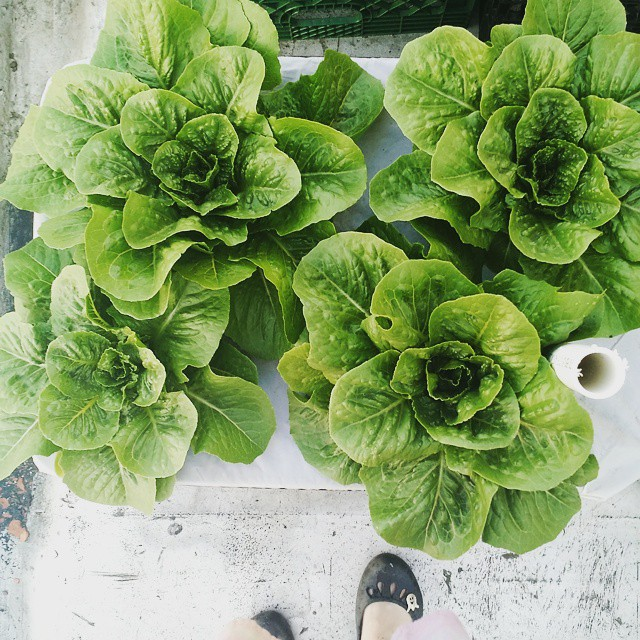 Lettuce ready to be picked.